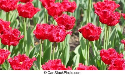 Flowerbed with red tulips - closeup of flowerbed with red...