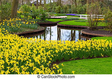 Flowerbed with yellow daffodil flowers blooming in spring -...