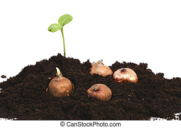 Growing sprout with flowerbulbs in earth