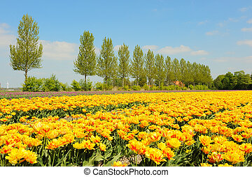 flowerbulbs as typical agriculture in Holland