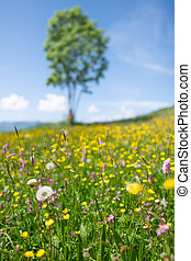 Flowered meadow in the spring of Dandelion with a plant in the background