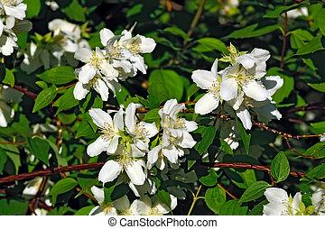 Flowered mock-orange (Philadelphus) - Beautiful flowers...