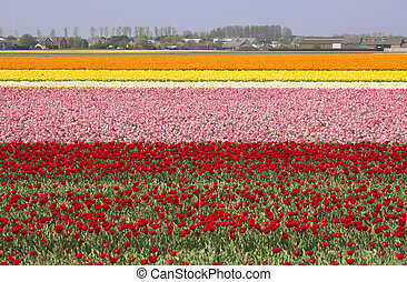 Flowerfields in Holland - Extensive flowerfields of many...