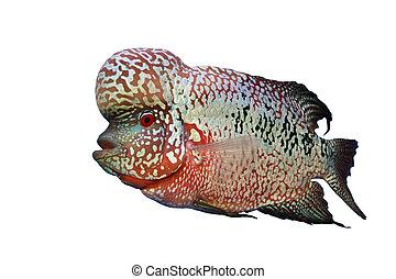 Flowerhorn Cichlid fish in the aquarium - Flowerhorn Cichlid...