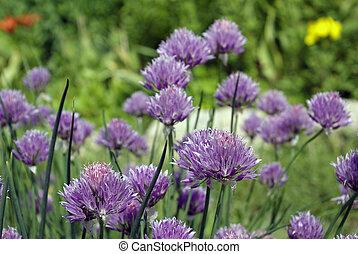 flowering allium