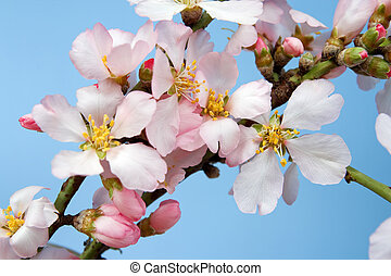 Flowering almond branch against the sky