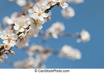 Branches a flowering almond against the sky