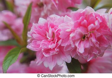Delicate blooms of the flowering almond
