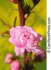 Delicate flowering almond macro