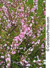 Flowering almond shrub in full bloom