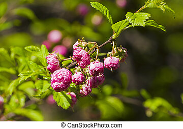 Flowering almond (Prunus triloba) under the bright May sun