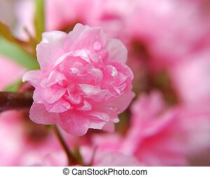 single flowering almond blossom macro