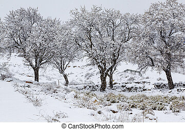 Flowering almond trees surprised by a spring snow