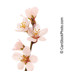 flowering almond twig isolated on white background