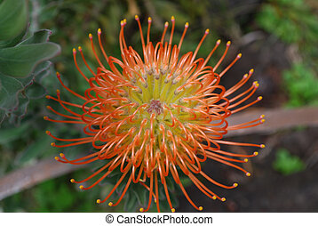 Flowering and Blooming Orange Protea Flower in a Garden