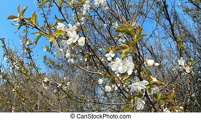 Flowering apple or apricot against blue sky. Video clip,...