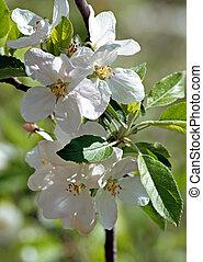 Flowering apple