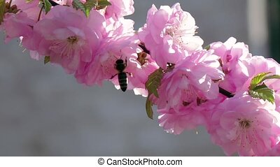 Flowering apricot. Bees. Close up. Slow motion - Flowering...