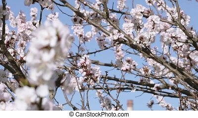 Flowering apricot - Branch of blossoming apricot tree...