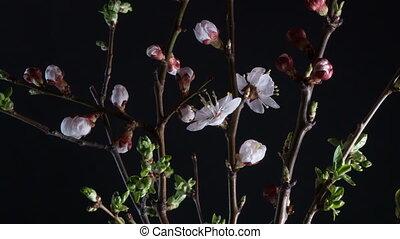 Flowering apricot flowers