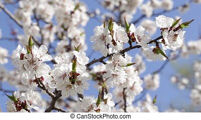 flowering apricot tree - blossoming apricot tree, branches...