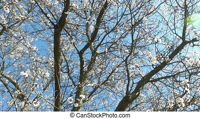 Flowering apricot tree on a background of blue sky