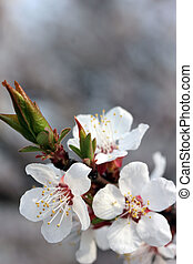 flowering apricot tree - spring flowering branches of...