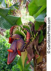 Flowering banana tree in the tropical garden