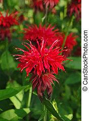 Flowering bee balm plants - Monarda mint flowers in garden...