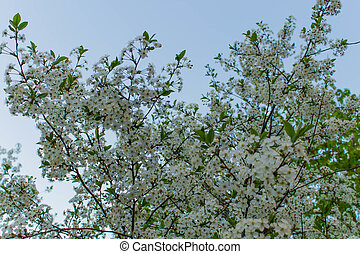 Flowering bird cherry against the sky