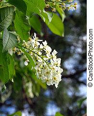 Flowering bird cherry