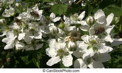 Flowering blackberry with bees pollinating