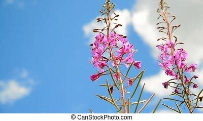 Flowering blooming Sally on sky background - Flowering...
