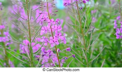 Flowering blooming Sally swaying in wind - Flowering...