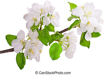 Flowering branch of apple-tree. Closeup on white.