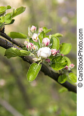 Flowering branch of apple tree in a spring