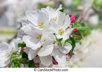 Flowering branch of apple tree on a blurred background