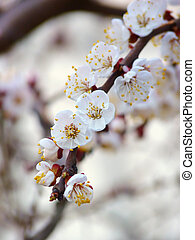 Flowering branch of apricot on a light background