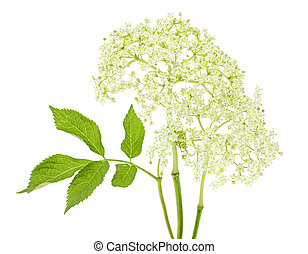 Flowering branch of elderberry with leaves isolated on white background