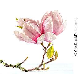Flowering branch of Magnolia.