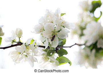 flowering branch of tree is in spring on a white background