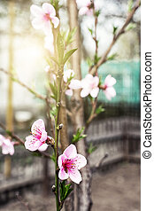 flowering branch peach against the