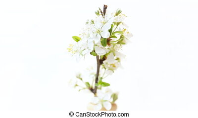 flowering branch with plum flowers isolated on a white background