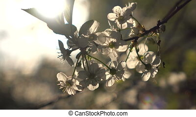 Flowering branches close up and a ray of sunshine - Spring...