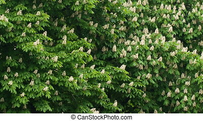 Flowering branches of chestnut tree - Flowering branches of...