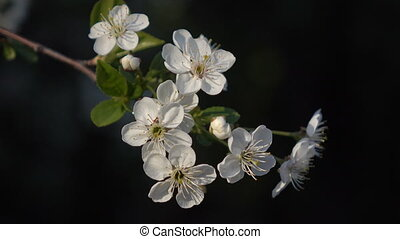 Flowering branches on a black background - Spring flowering...
