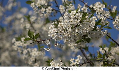Flowering branches on blue sky background 3 - Spring...