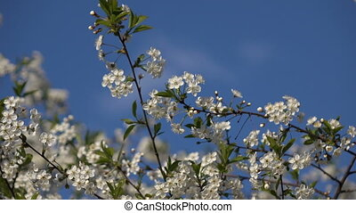 Flowering branches on blue sky background