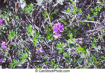 Flowering Breckland Wild Thyme Growing In The Forest Floor