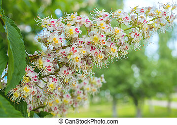 flowering bunches of chestnut